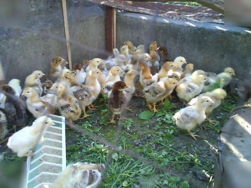 Цыплята Ливенской ситцевой породы