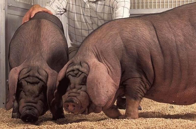 Вислоухие свиньи на откорме