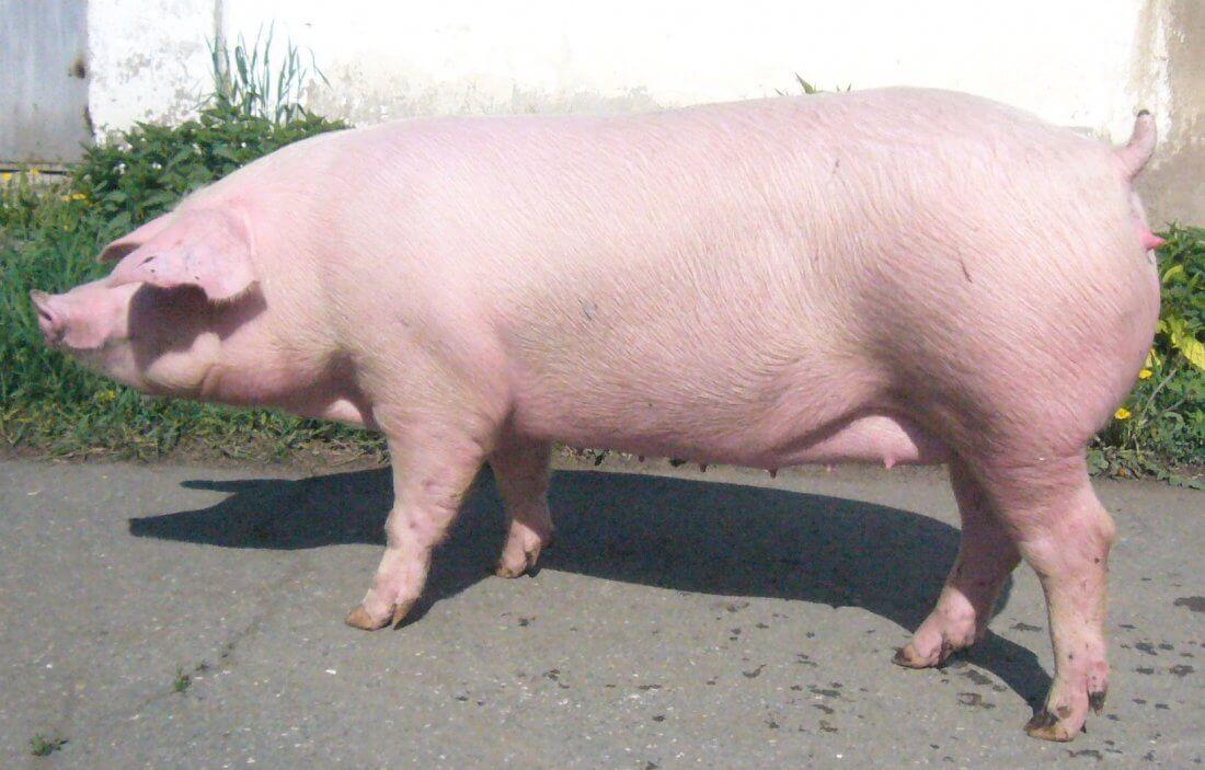 Взрослая свинья Ландрас