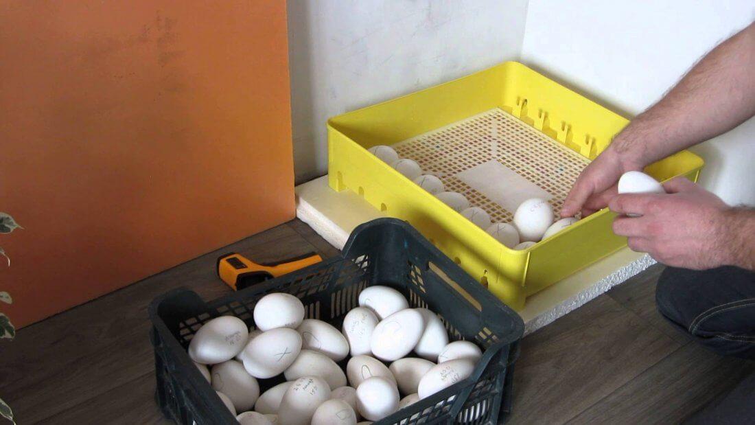 Заклдка яиц в инкубатор