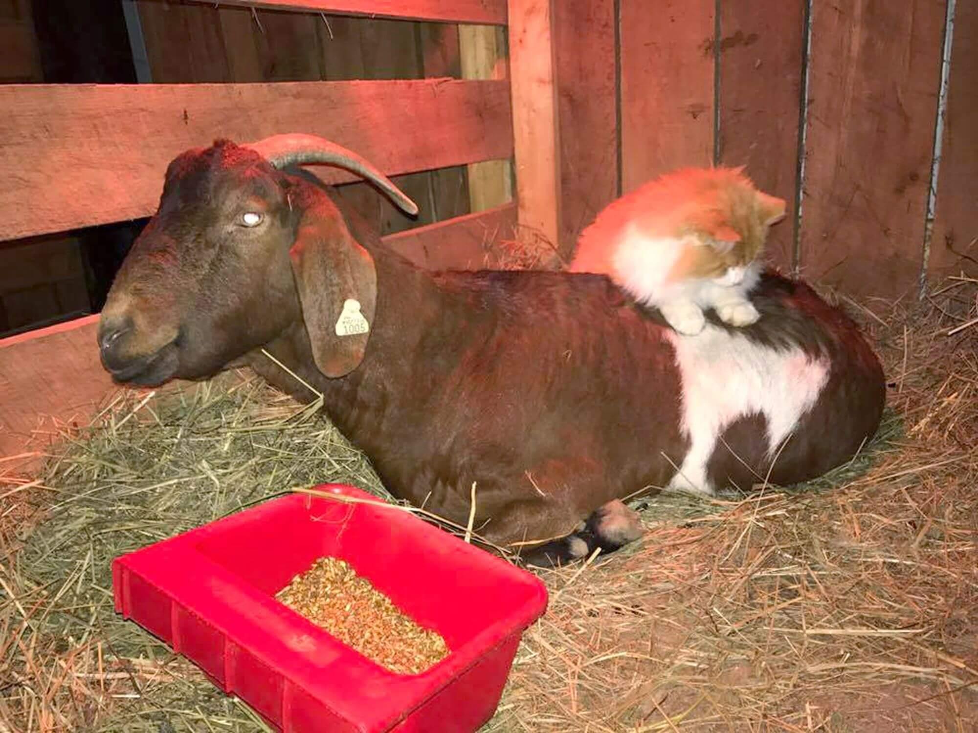 Как правильно запускать козу перед окотом: практические советы