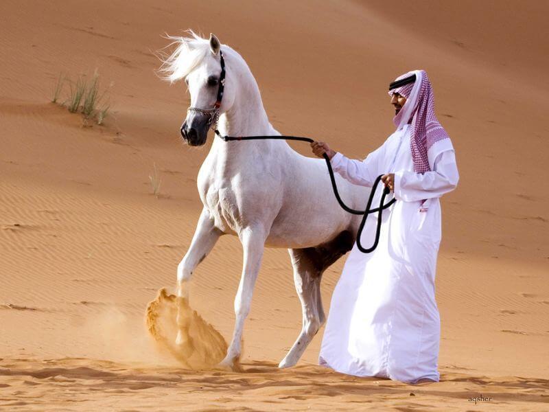 Арабский жеребец у кочевника