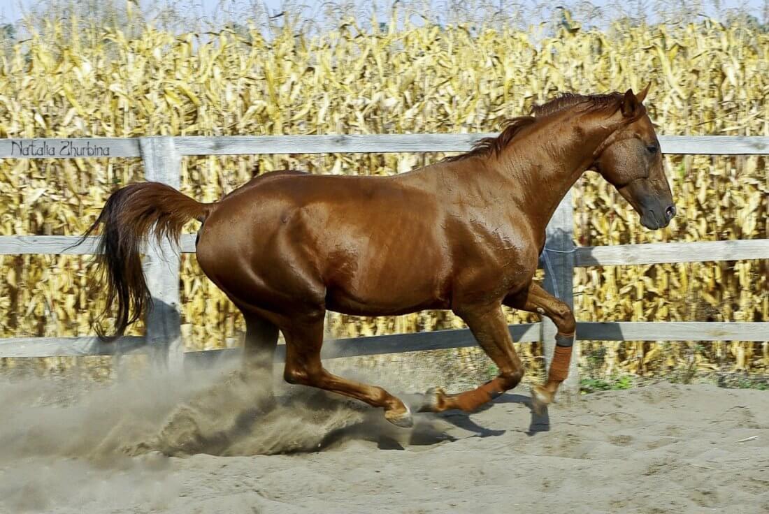 Быстрый аллюр лошади