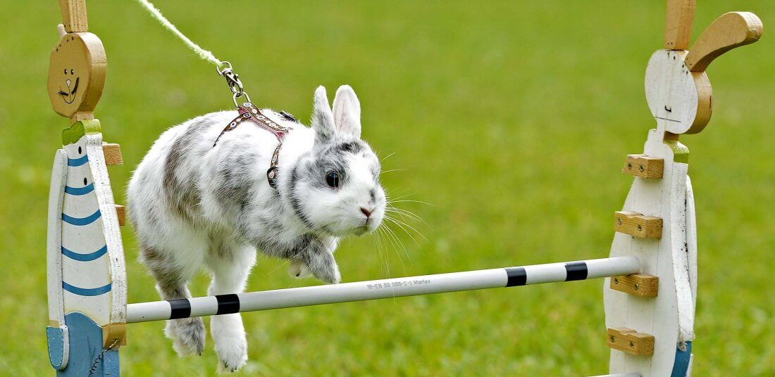 Дрессировка декоративного кролика