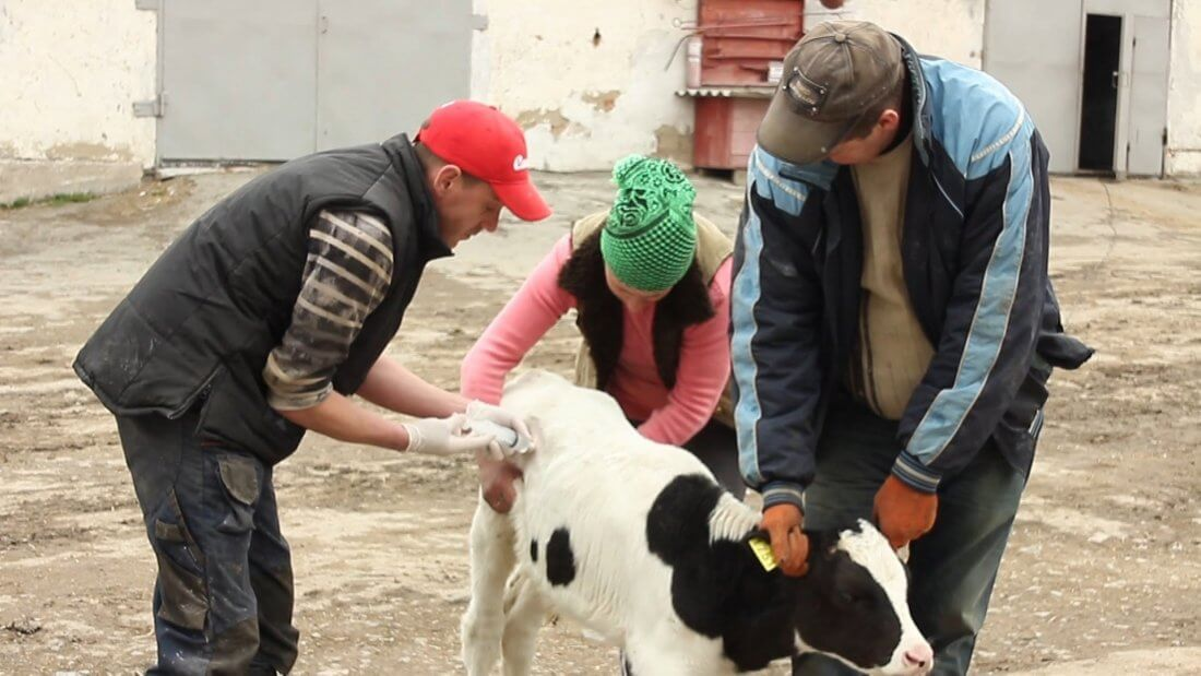 Инъекция теленку