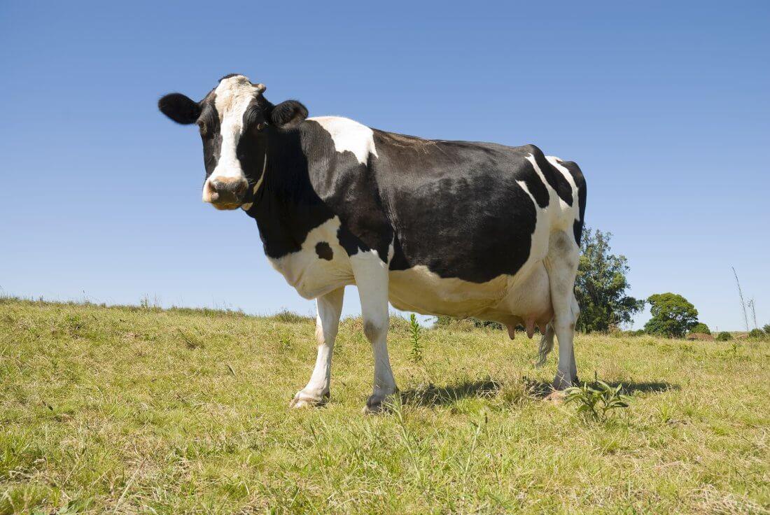 Корова перед отелом