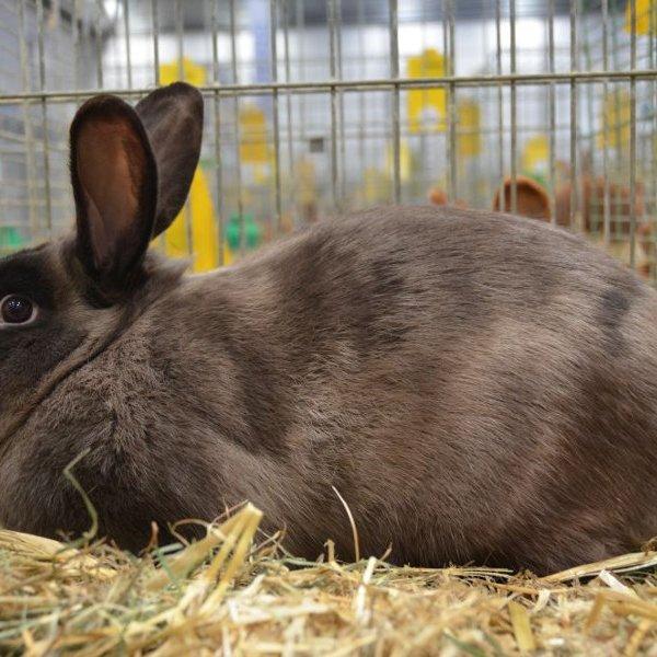 Кролики с однотонной шкуркой