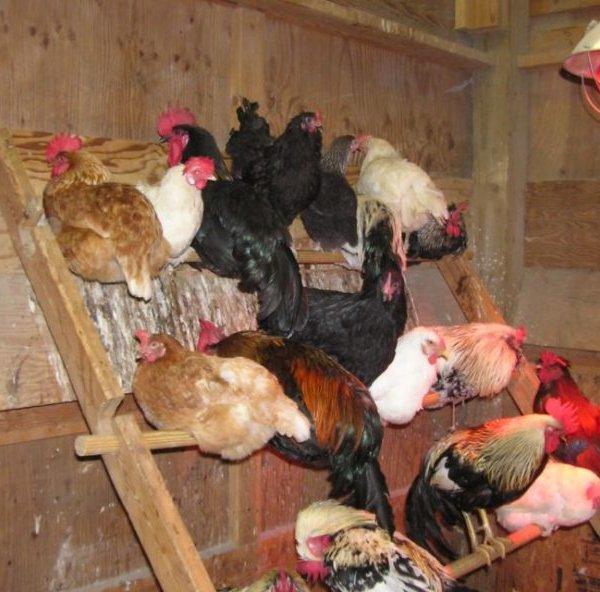 Курицы на насестах