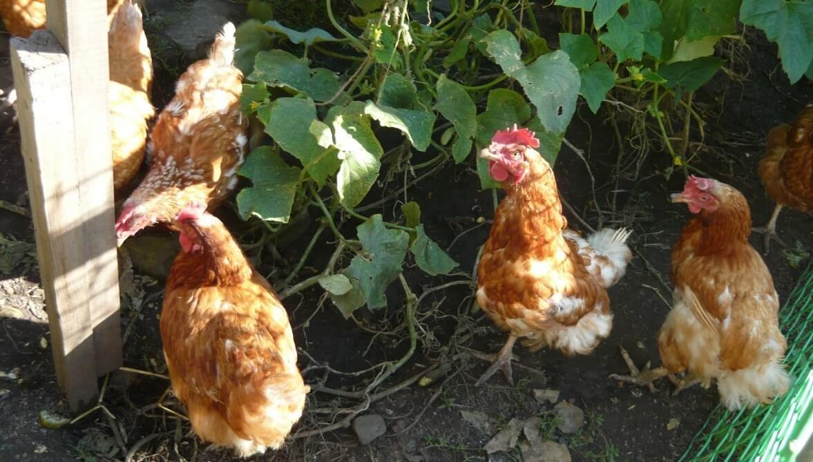 Куры Шейвер: все что надо знать птицеводу о разведении породы