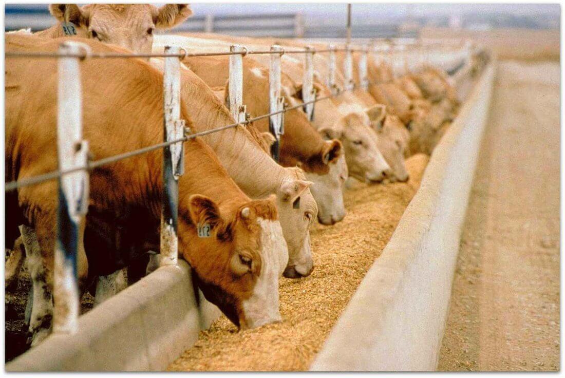 Площадка для кормления коров