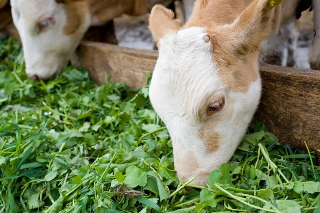 Сочные корма для коров