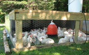 Как содержать бройлеров: советы по выращиванию птицы на убой без потерь