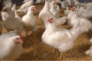 Состав кормов для бройлеров, цены, советы по кормлению птиц в домашних условиях