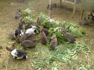 Чем кормить беременную крольчиху до окрола: правильное решение