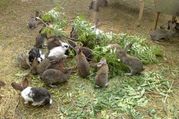 Кролики на подворье