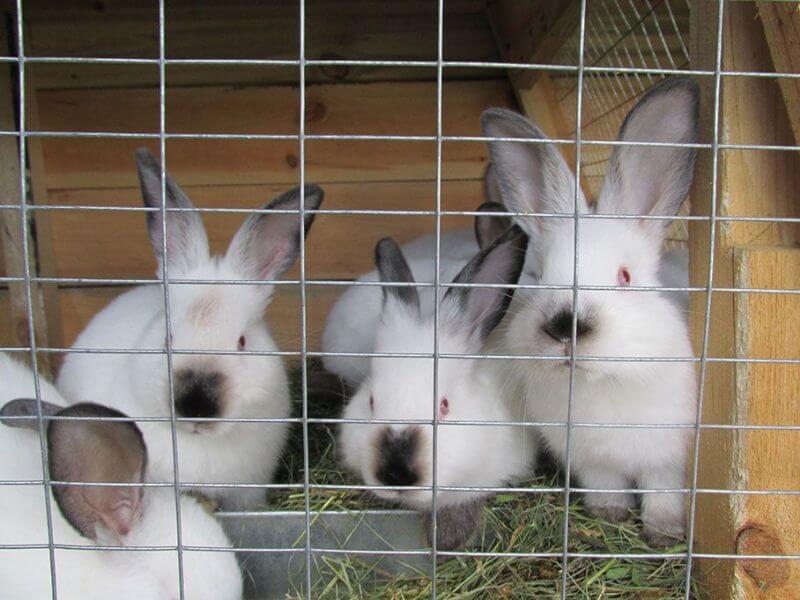 Все для кроликов: выбор породы, правила кормления и разведения