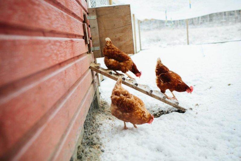Зимнее содержание кур