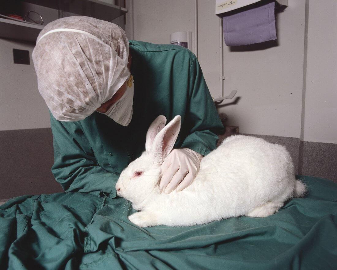 Осмотр крольчихи ветеренаром