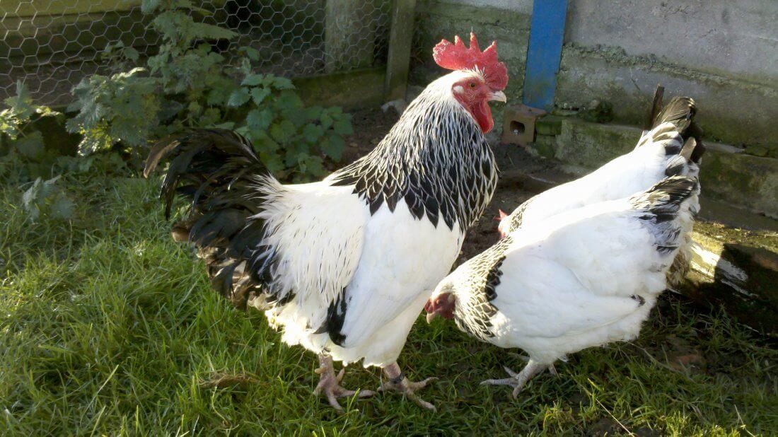 Петух и курица породы суссекс