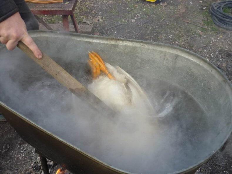 Ощипывание утки методом ошпаривания
