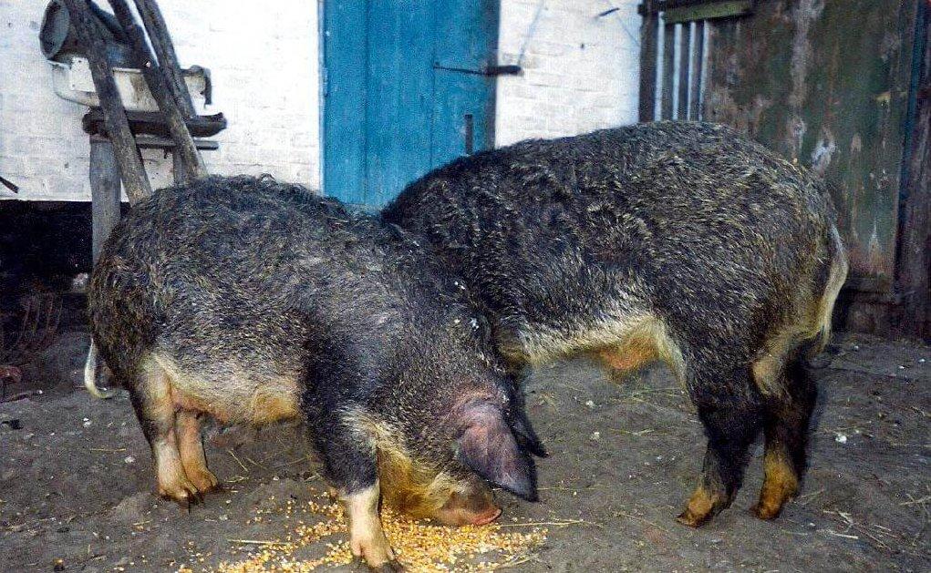 Подкорм свиней