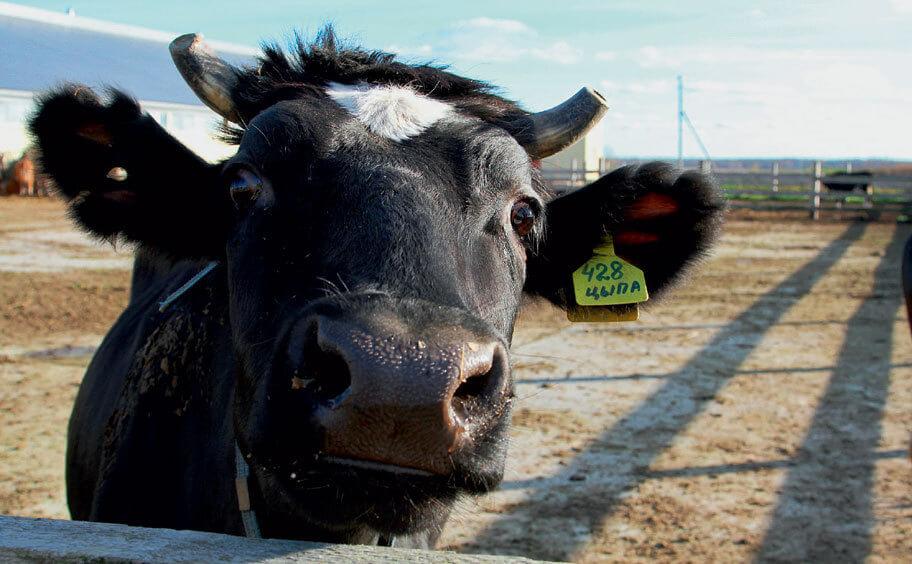 Ярославская корова