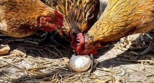 Почему куры клюют свои яйца, основные причины, способы устранения проблем, профилактические меры