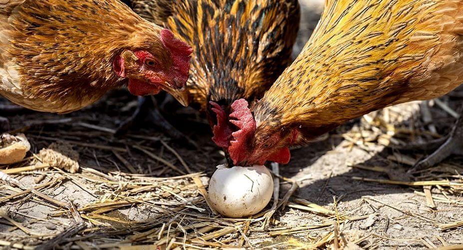 Куры клюют снесенное яйцо