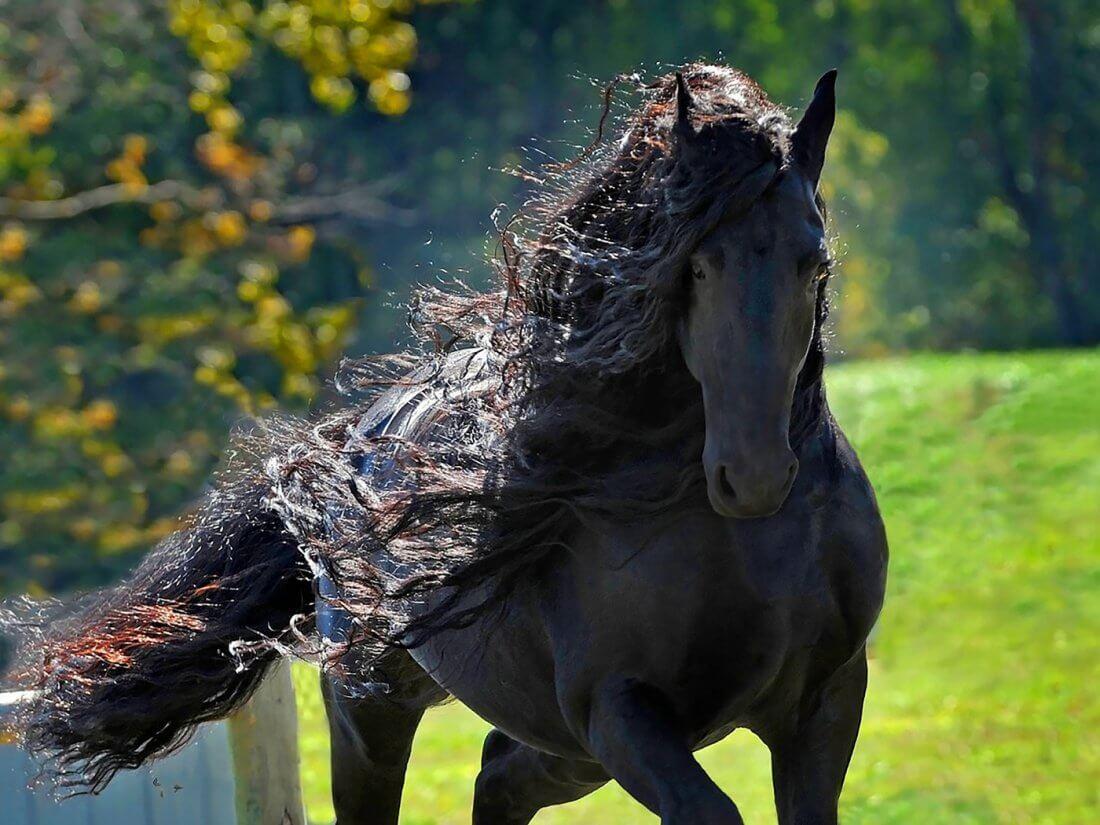 Лошадь породы фриз