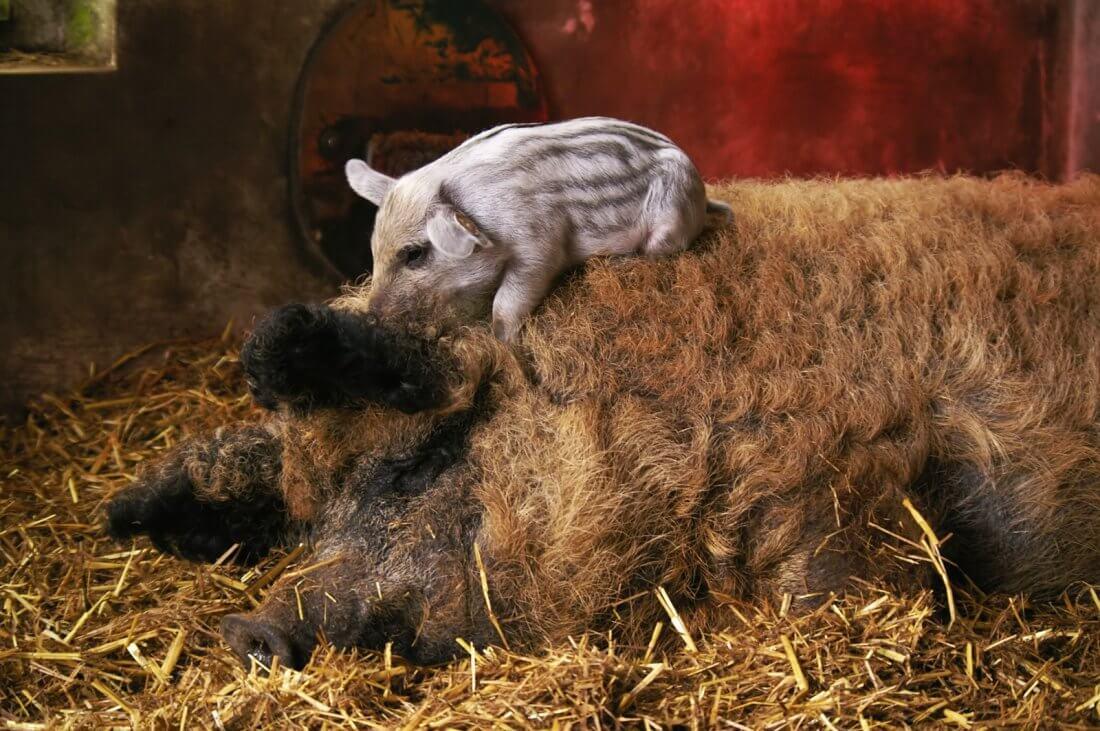Поросенок и свинья Мангал