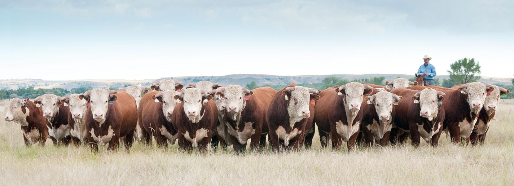 Коровы мясной породы Герефорд, секреты разведения, преимущества и недостатки