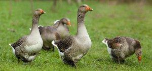 Топ-20 самых крупных пород гусей: как выбрать и разводить правильно