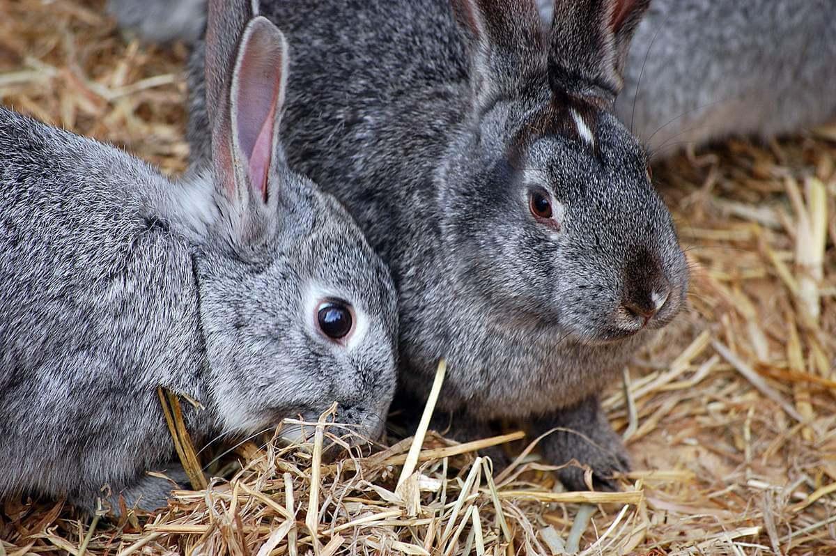 Можно ли кастрировать кроликов в домашних условиях и как это сделать правильно