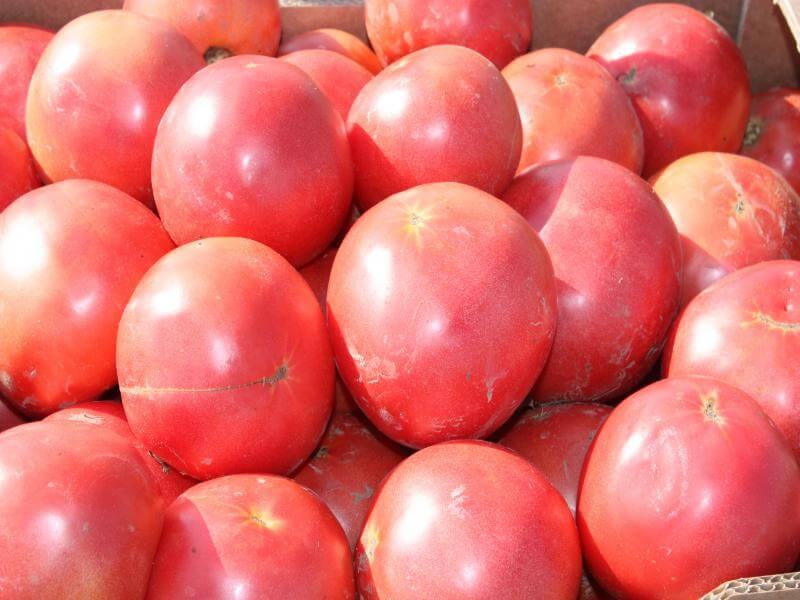 Урожай помидоров Торпан