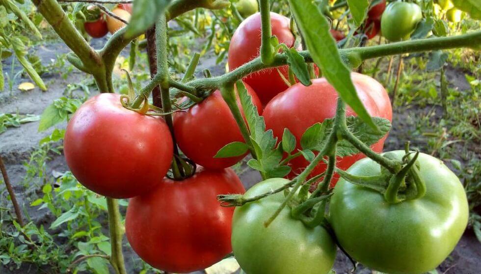 Кусты помидоров Торпан