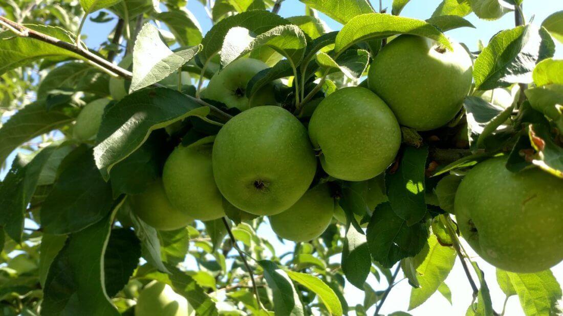 Урожайность яблонь Семеренко