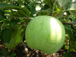 Чем хорош сорт яблок Семеренко и как его правильно вырастить