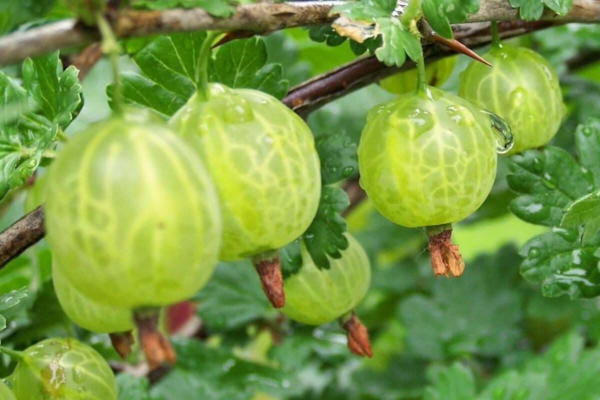 Плюсы и минусы сорта крыжовника Малахит, особенности его выращивания
