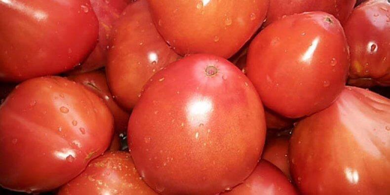 Урожай помидоров Мишка косолапый