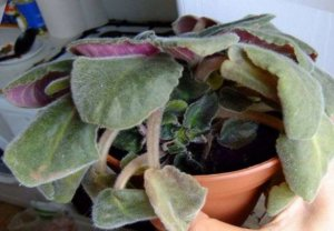 Увядание листьев фиалки