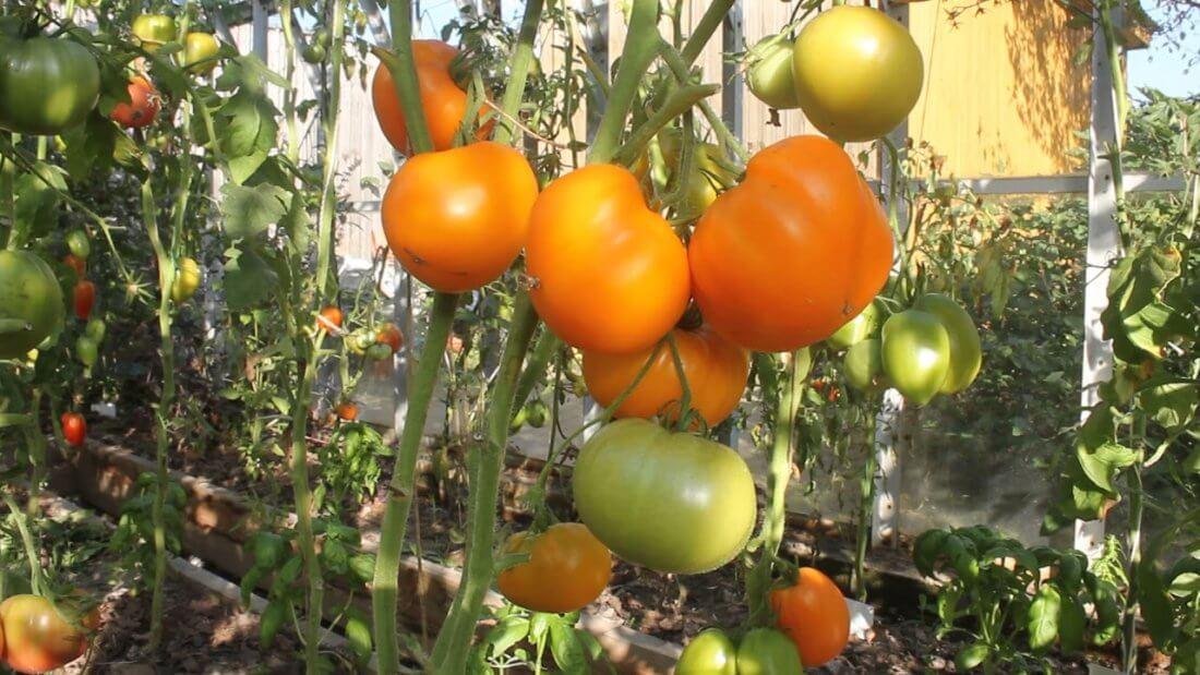 Оранжевые помидоры Мишка косолапый