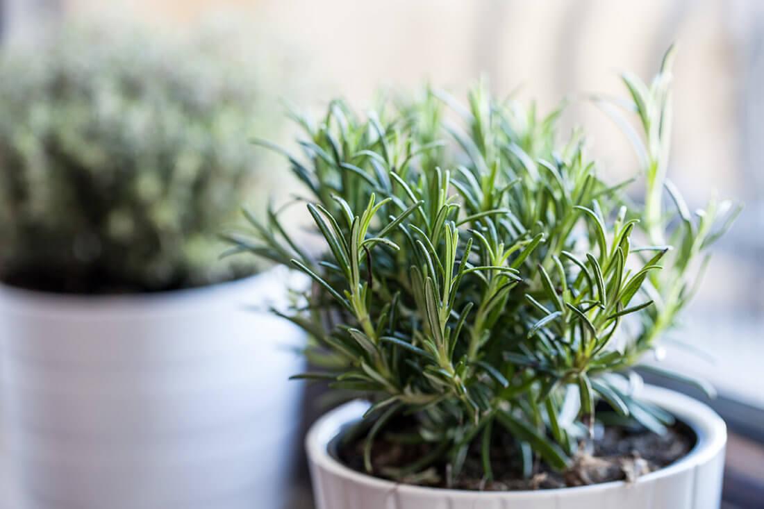 Выращивание розмарина в домашних условиях на подоконнике из семян