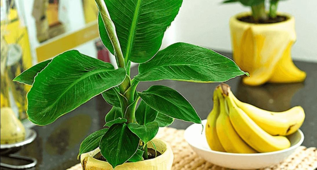 Бананы и растение