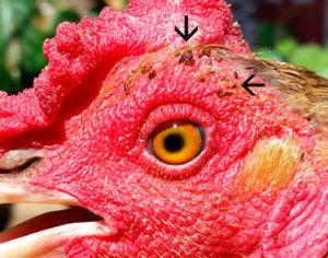 Борьба с куриными блохами
