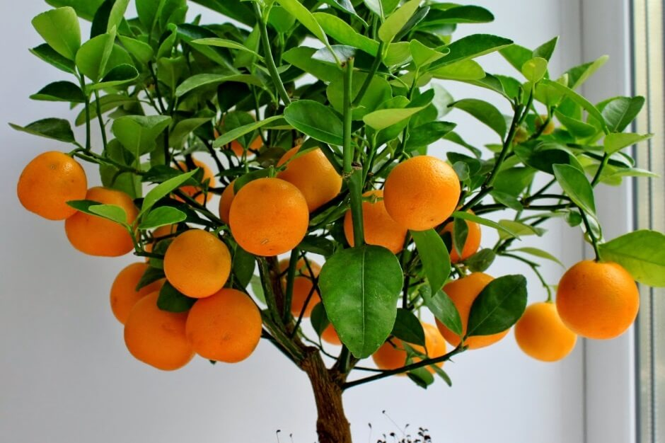 Как ухаживать за мандарином в домашних условиях, пошаговая инструкция для начинающих