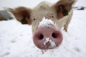 Свинья зимой