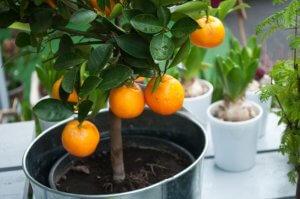 Выращивание мандаринов дома