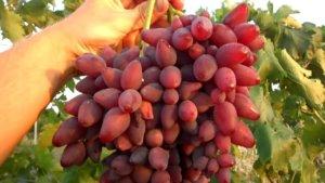 Кисть винограда Коралловый