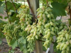 Незрелый виноград Коралловый