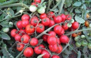 Урожай томатов Лабрадор